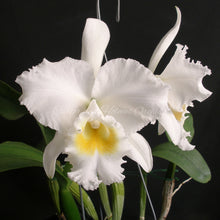 Load image into Gallery viewer, Cattleya Sans Souci 'Mendenhall' x Cattleya Lucille Small 'Marshall' FCC/AOS