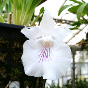 Cochleanthes amazonica *Rare*