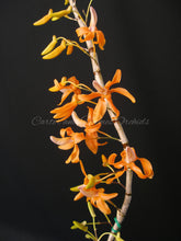 Load image into Gallery viewer, Dendrobium unicum  *Rare Collectors Species*
