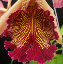 Load image into Gallery viewer, Cattleya dowiana var. rosita x self  *Rare Species*