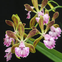 Load image into Gallery viewer, Encyclia Thomas Fennell 'Hershey'  x Encyclia granitica 'Mendenhall' *Flask*