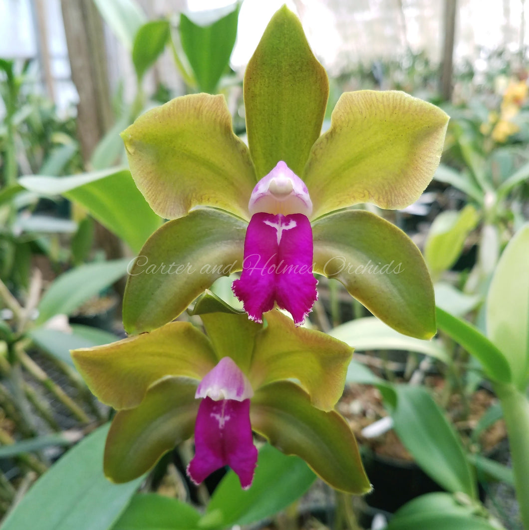 Blc. Hawaiian Satisfaction 'Romantic'  AM/AOS x Cattleya bicolor 'Mendenhall-Beta' 4N *Flask*