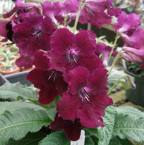 Streptocarpus 'Misue' *Very Limited*