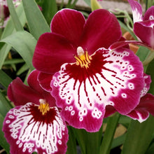 Load image into Gallery viewer, Miltoniopsis 'Pansy Faced' Orchid- in Spike & Bud