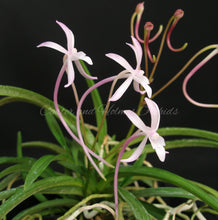 Load image into Gallery viewer, Neofinetia falcata (Pink Strain)