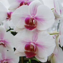 Load image into Gallery viewer, Ready to Bloom Standard Phalaenopsis, Assorted Novelty Colors