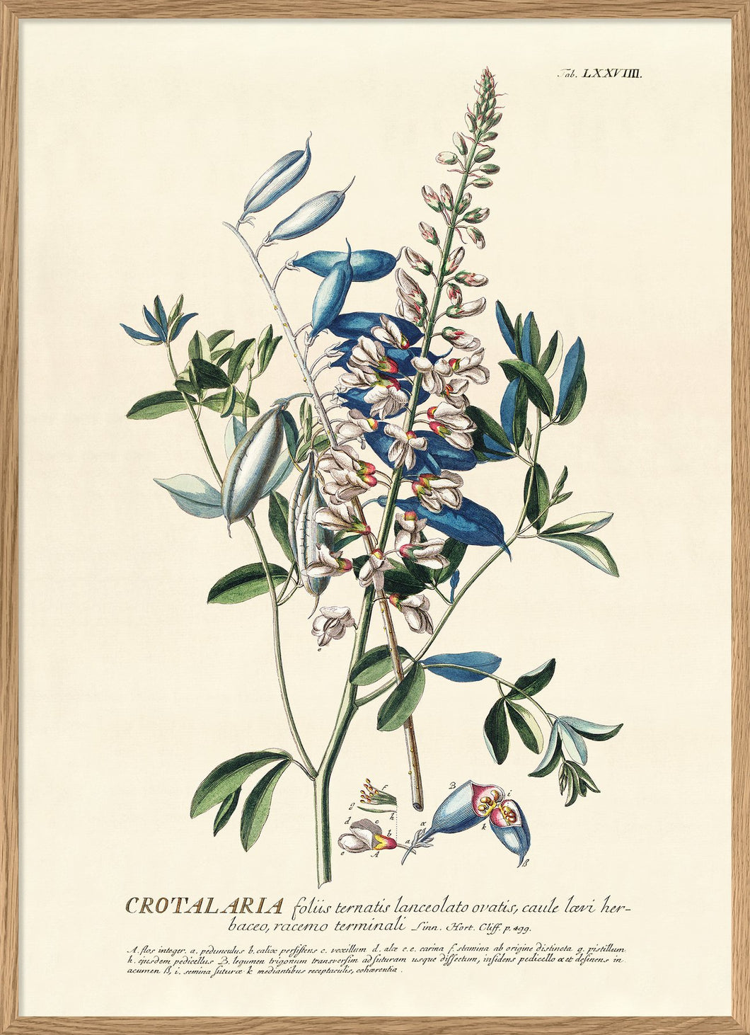 AFFICHE BLUE CROTALARIA BRANCH THE DYBDAHL