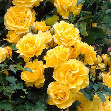 Load image into Gallery viewer, Rose Climbing 'Golden Showers'- 4.5 litre Pot Premium Plant