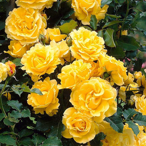 Rose Climbing 'Golden Showers'- 4.5 litre Pot Premium Plant