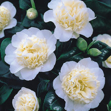 Load image into Gallery viewer, Camellia Brushfields Yellow- 2L Pot - Bells Gardening