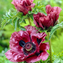 Load image into Gallery viewer, Papaver Pattys Plum - 1.5L Pot