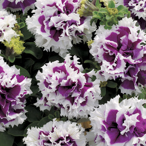 Petunia Double Purple And White- Garden Ready Bedding 6 Pack