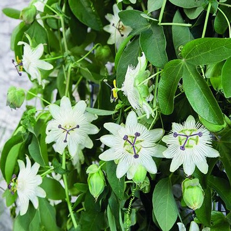 Passiflora Snow Queen 3L Pot