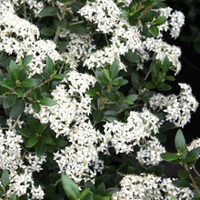 Load image into Gallery viewer, Olearia x Haastii - 3.5L Pot