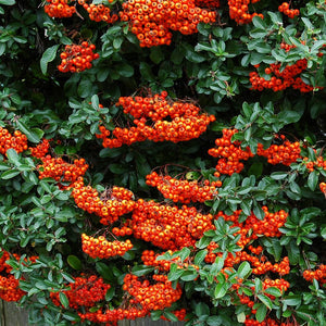 Pyracantha 'Saphyr Orange'- 3L Pot