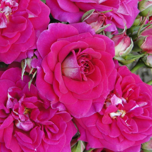 Rose 'Perfect Match'  Potted Floribunda -  Supersized 5L Pot