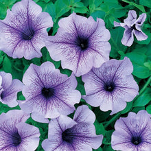 Load image into Gallery viewer, Petunia Surfinia- 10.5cm Pot - Mixed Colour Options