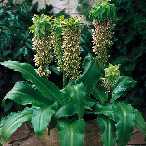 Eucomis Bicolour (Pineapple Lily) Unique Bulb