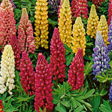 Load image into Gallery viewer, Lupins Mixed -Garden Ready 2L Pot