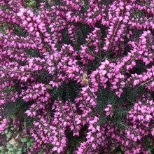Load image into Gallery viewer, Erica x darleyensis 'Rubina' - 10cm garden ready plants