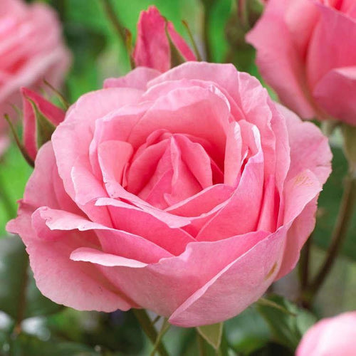 Rose 'Queen Elizabeth' Potted Floribunda -  Supersized 5L Pot