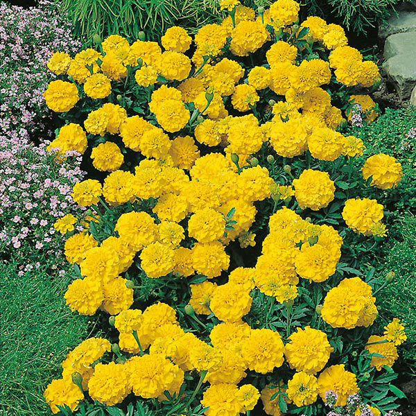 Marigold French Yellow- Garden Ready Bedding 6 Pack