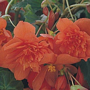 Begonia Illumination Orange Trailing - 4 bedding  pack