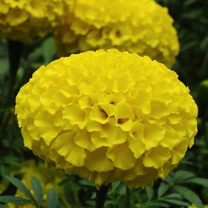 african marigold yellow bedding plants