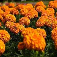 Load image into Gallery viewer, african marigold orange bedding plants