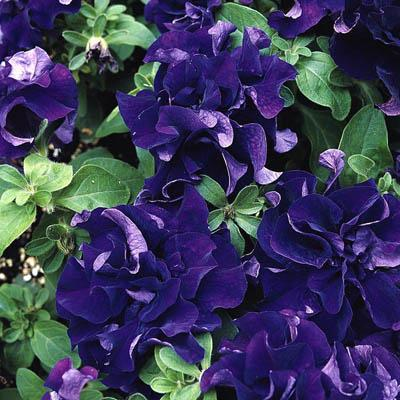 Petunia Double Pirouette Blue - Garden Ready Bedding 6 Pack