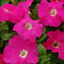 Load image into Gallery viewer, Petunia Single Pink Damask - Garden Ready Bedding 6 Pack