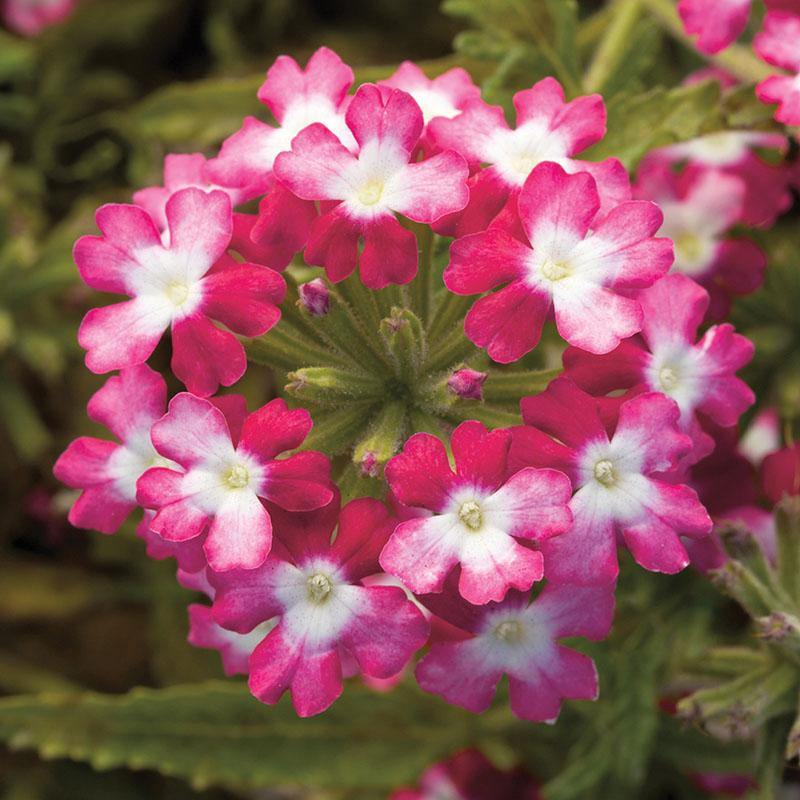 Verbena Twister Red- Garden Ready Bedding 1 litre pot - Bells Gardening