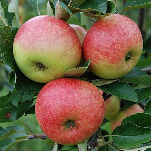 Potted 7.5L Apple 'James Grieve' Malus Domestica Fruit Tree