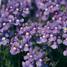 Load image into Gallery viewer, Nemesia 'Blue' - 9-10.5cm Pot