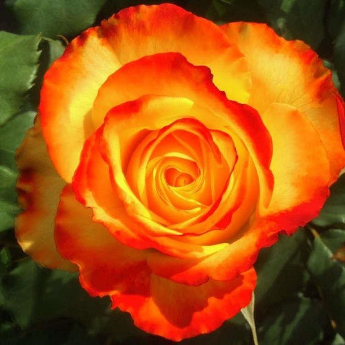 Rose 'Tequila Sunrise' Potted Hybrid Tea -  Supersized 5L Pot