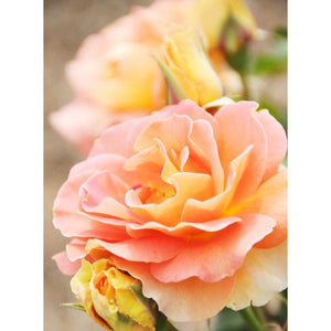 Patio Rose 'Peachy' Light Fragrance- 3L