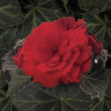 Load image into Gallery viewer, Begonia- Mocca (Dark Leaf)- Scarlet 1L