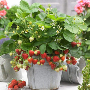 Strawberry Sweetheart- 9cm Pot