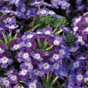 Verbena Twister Purple- Garden Ready Bedding 1 litre Pot
