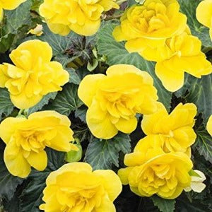 Begonia Mocca Non-Stop Yellow - 4 bedding  pack