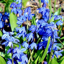 Load image into Gallery viewer, SCILLA SIBERICA 'Spring Beauty' BULBS Ready To Plant- 9cm Pot