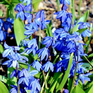 SCILLA SIBERICA 'Spring Beauty' BULBS Ready To Plant- 9cm Pot