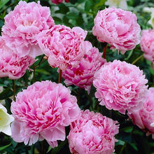 Load image into Gallery viewer, Paeonia 'Alexander Fleming' Peony pink - Garden Ready 2L Pot