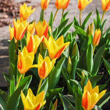 Load image into Gallery viewer, Tulipa Kaufmanniana Giuseppe Verdi Spring Bulbs- 2L Pot