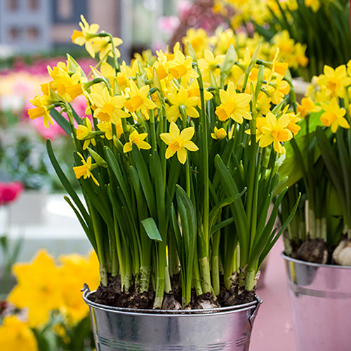 Narcissus 'Tete-a-Tete' Spring Bulbs-Ready To plant Pack of 4