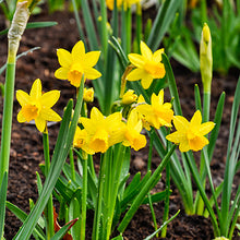 Load image into Gallery viewer, Narcissus 'Tete-a-Tete' Spring Bulbs-Ready To plant Pack of 4