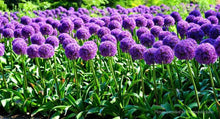 Load image into Gallery viewer, Allium Giganteum - 2L Pot
