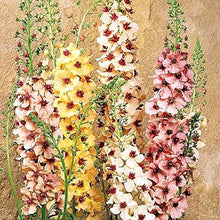 Load image into Gallery viewer, Verbascum Phoeniceum 'Southern Mix' - 10.5cm Pot