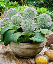 Load image into Gallery viewer, Allium karataviense ivory queen spring bulbs in 2 litre pot