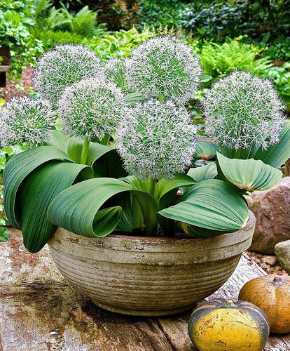 Allium karataviense ivory queen spring bulbs in 2 litre pot